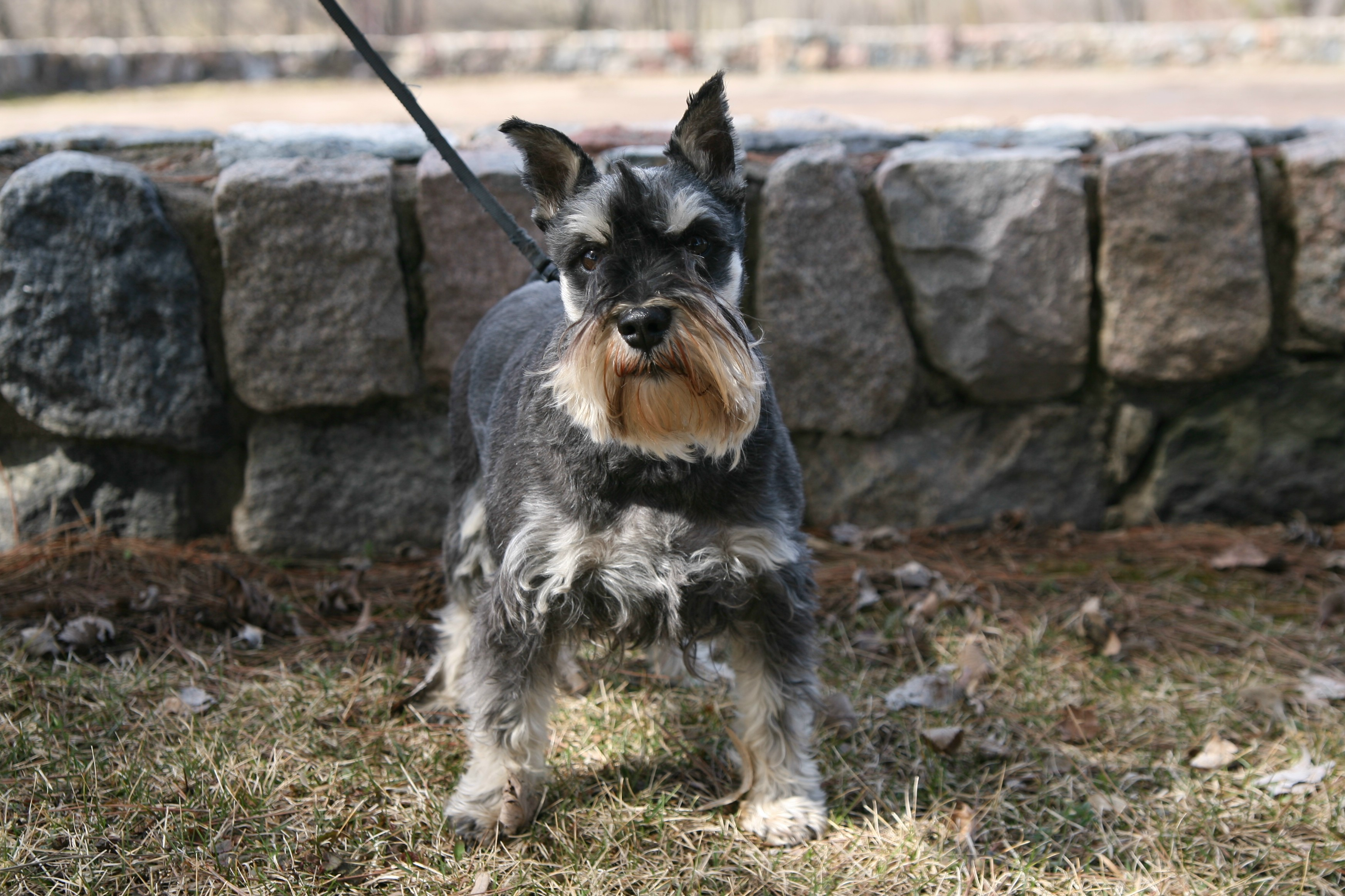 Displaying 18> Images For - Yorkie And Schnauzer Mix...